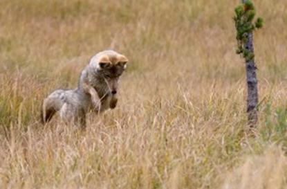 ربما لا تستطيع فعليًا المساعدة، ولكنك لا تملك إلا أن تنظر إلى ما ينظر إليه هذا الذئب.